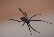 عنکبوت بلک ویدو