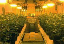 کشت و پرورش ماریجوانا
