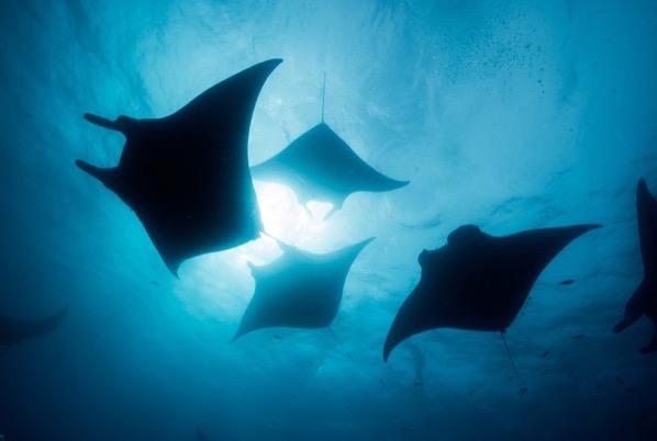Manta ray silhouettes in the Maldives Shutterstock