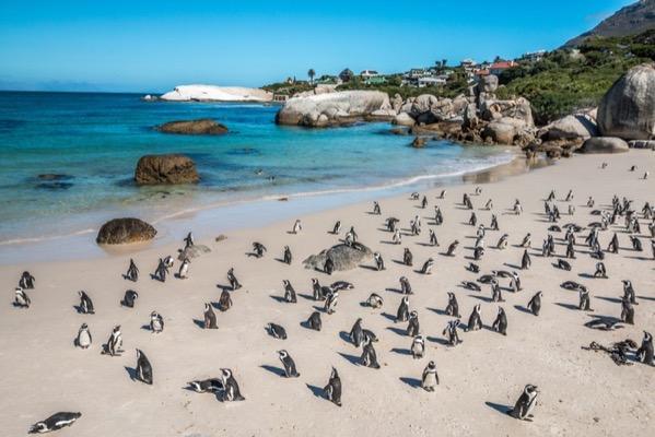 Penguins on Boulders Beach Cape Town