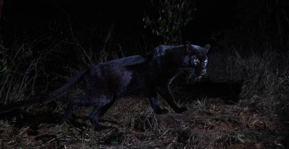 Rare black leopard spotted in Kenya willblInstagram 1024x529